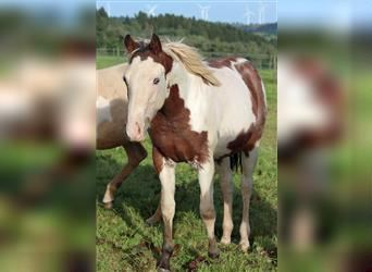 Paint Horse, Stallion, 1 year, 15 hh, Overo-all-colors