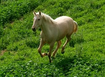 Andalusier, Hengst, 2 Jahre, 155 cm, Palomino