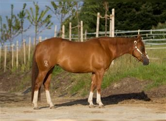 Paint Horse, Mare, 13 years, 14.2 hh, Chestnut-Red