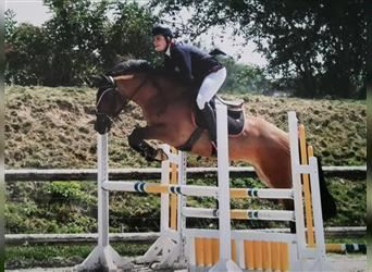 New Forest Pony, Mare, 6 years, 14.1 hh, Brown