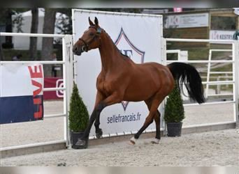 Selle Français, Mare, 3 years, 16.2 hh, Brown