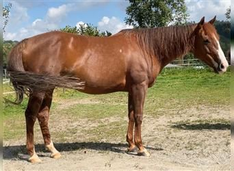 American Quarter Horse, Mare, 9 years, 14.3 hh, Chestnut-Red