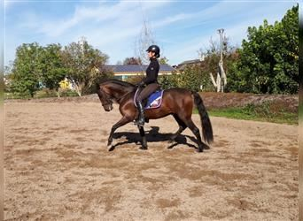 Andalusian Mix, Gelding, 8 years, 15.1 hh, Bay-Dark