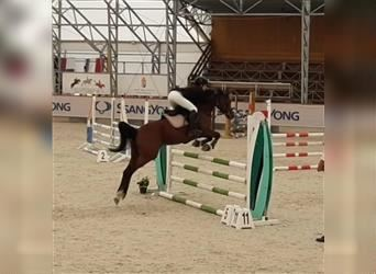 Hungarian Sport Horse, Mare, 6 years, 16 hh, Chestnut