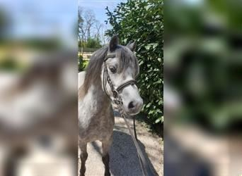 Welsh A (Mountain Pony), Gelding, 4 years, 12.1 hh, Gray