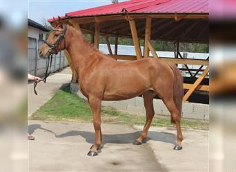 Hungarian Sport Horse, Mare, 3 years, Chestnut