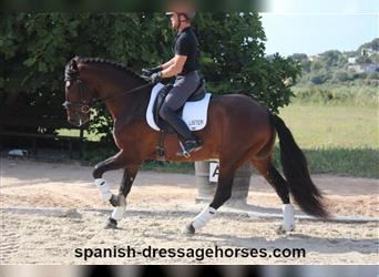 Andalusian, Stallion, 4 years, 16 hh, Brown