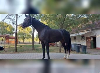 Hungarian Sport Horse, Mare, 5 years, 17 hh, Black