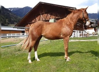 Paint Horse, Mare, 2 years, Brown