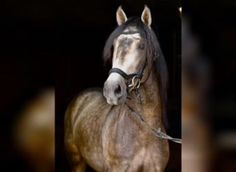 Andalusian Mix, Gelding, 3 years, 15.1 hh, Can be white