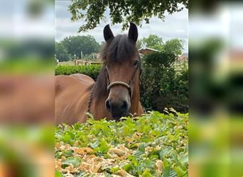 Ardennes, Mare, 12 years, 15.2 hh, Brown