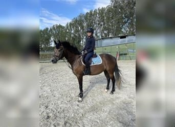 Hungarian Sport Horse, Mare, 4 years, 14.2 hh, Bay