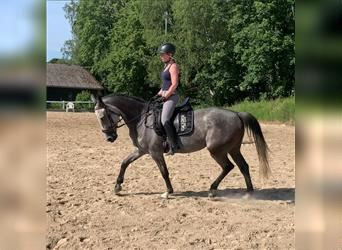 Other Warmbloods, Mare, 6 years, 15.1 hh, Gray-Blue-Tan