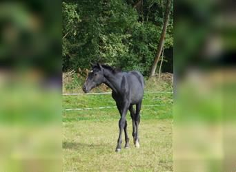 German Sport Horse, Stallion, Foal (05/2021), 16.2 hh, Can be white