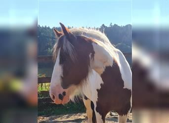 Gypsy Horse, Mare, 5 years, 13.2 hh, Pinto