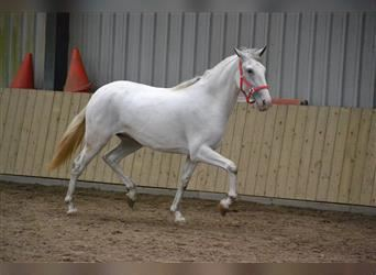 Other Breeds, Mare, 3 years, 15.1 hh, White