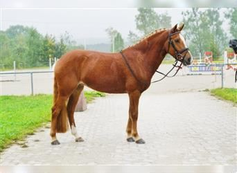 KWPN, Mare, 7 years, 14.1 hh, Chestnut-Red