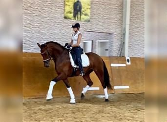 Hanoverian, Mare, 3 years, 16.2 hh, Brown