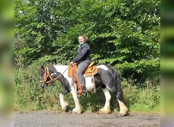 Gypsy Horse, Mare, 6 years, 12.2 hh, Pinto