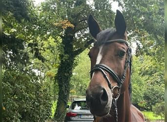 Hanoverian, Mare, 3 years, 16.1 hh, Brown