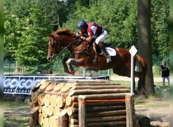 Anglo-Arab, Stallion, 25 years, 16 hh, Chestnut-Red