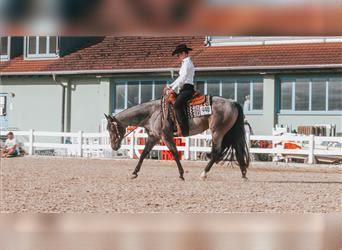 American Quarter Horse, Mare, 4 years, Roan-Bay