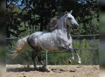 Andalusier Mix, Wallach, 6 Jahre, 160 cm