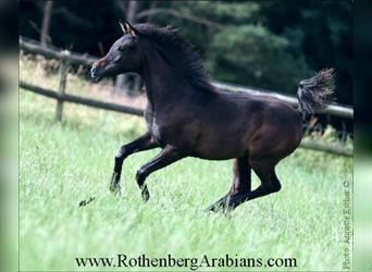 Straight Egyptian, Mare, 5 years, 14.3 hh, Gray