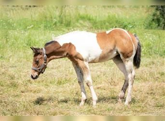 Paint Horse, Mare, Foal (04/2021), 14.1 hh, Brown