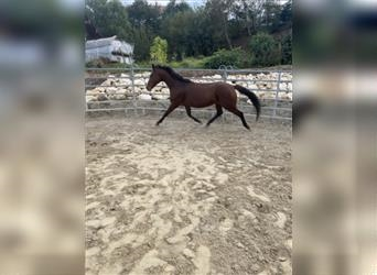 Hungarian Sport Horse, Mare, 9 years, 14.2 hh, Brown