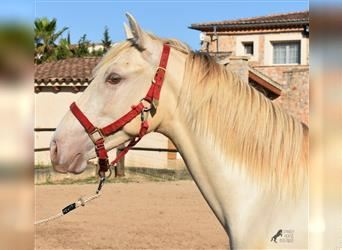 Andalusian, Stallion, 2 years, 15.3 hh, Perlino
