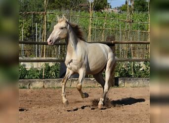 Andalusier, Hengst, 2 Jahre, 162 cm, Perlino