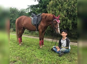 Classic Pony, Mare, 4 years, 12.2 hh, Chestnut-Red