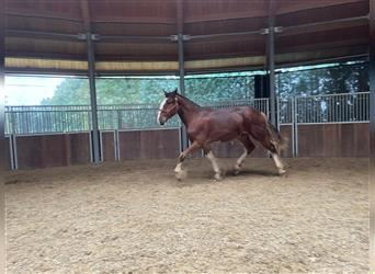 Clydesdale, Stallone, 1 Anno