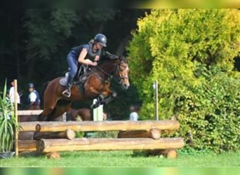 Czech sports pony, Mare, 11 years, 13.3 hh, Brown