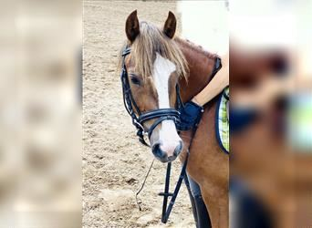 Welsh C (of Cob Type), Mare, 3 years, 12.2 hh, Chestnut-Red