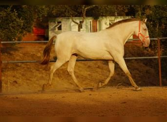 Andalusian, Mare, 10 years, 16.2 hh, Perlino