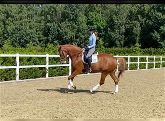 KWPN, Mare, 5 years, 17 hh, Chestnut