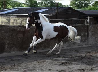 Oldenburg-International (OS), Stallion, 4 years, 16 hh, Tobiano-all-colors