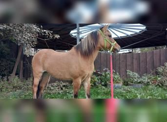 Fjord Horses Mix, Mare, 7 years, 12.2 hh, Dun