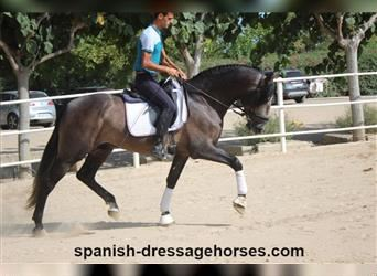Andalusian, Stallion, 4 years, 16 hh, Gray