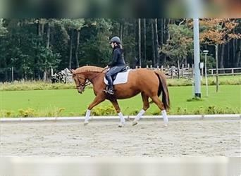 German Sport Horse, Mare, 5 years, 16 hh, Chestnut-Red