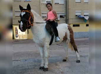 Pintos, Mare, 18 years, 11.2 hh, Pinto