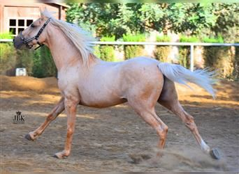 Andalusier, Hengst, 11 Jahre, 151 cm, Palomino