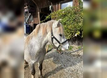 Welsh A (Mountain Pony), Gelding, 2 years, 12 hh, Gray