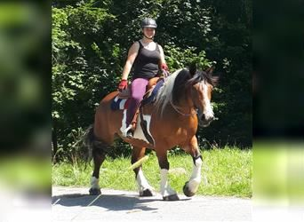 Breton Mix, Mare, 12 years, 15.1 hh, Pinto