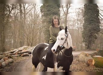 Paint Horse, Gelding, 6 years, 15.3 hh