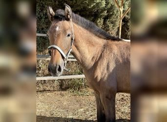 Andalusian Mix, Stallion, Foal (03/2021), 16 hh, Gray-Red-Tan