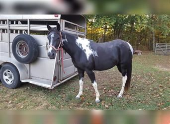 Spotted Saddle Horse, Jument, 15 Ans, 144 cm, Tobiano-toutes couleurs