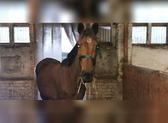 Anglo European Studbook, Mare, 4 years, 15.2 hh, Brown